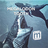 Own a Megalodon tooth (from 3.6 to 23 million years ago)
