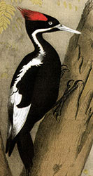 Ivory-billed woodpecker by Theodore Jasper (1888)