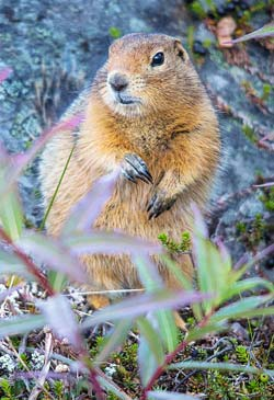 An arctic ground squirrel in hibernation can survive the lowest mammalian body temperature, -2.9°C (26.8°F).